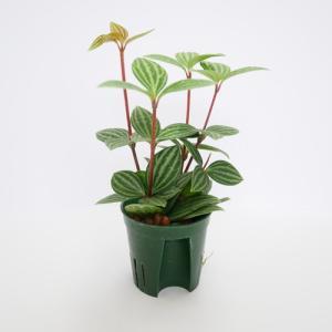ペペロミア プテオラタ キュート苗 2号 6Φ 観葉植物/ハイドロカルチャー/水耕栽培/インテリアグリーン|julli