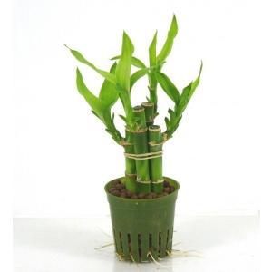 ミリオンバンブー キュート苗 2号 6Φ 観葉植物/ハイドロカルチャー/水耕栽培/インテリアグリーン|julli