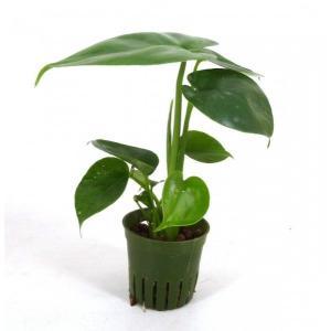 モンステラ キュート苗 2号 6Φ 観葉植物/ハイドロカルチャー/水耕栽培/インテリアグリーン|julli