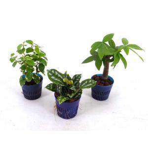 リトル苗 1.5号 4.5Φ 観葉植物/ハイドロカルチャー/水耕栽培/インテリアグリーン|julli