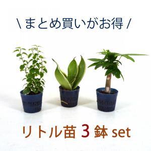 リトル苗 3鉢セット 1.5号 4.5Φ 観葉植物/ハイドロカルチャー/水耕栽培/インテリアグリーン|julli