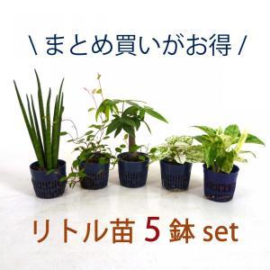 リトル苗 5鉢セット 1.5号 4.5Φ 観葉植物/ハイドロカルチャー/水耕栽培/インテリアグリーン|julli