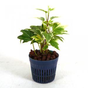 アイビー ホワイトリップル リトル苗 1.5号 4.5Φ 観葉植物/ハイドロカルチャー/水耕栽培/インテリアグリーン julli