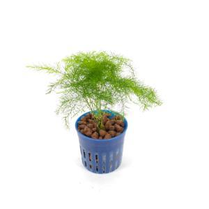 アスパラガス リトル苗 1.5号 4.5Φ 観葉植物/ハイドロカルチャー/水耕栽培/インテリアグリーン|julli