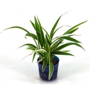 オリヅルラン リトル苗 1.5号 4.5Φ 観葉植物/ハイドロカルチャー/水耕栽培/インテリアグリーン|julli