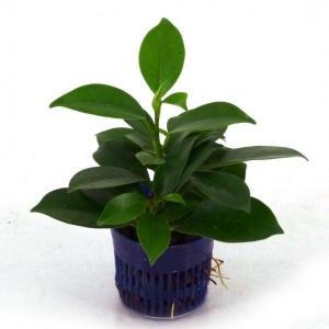 ガジュマル 天芽 リトル苗 1.5号 4.5Φ 観葉植物/ハイドロカルチャー/水耕栽培/インテリアグリーン|julli