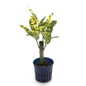 クロトン アキュビフォリア リトル苗 1.5号 4.5Φ 観葉植物/ハイドロカルチャー/水耕栽培/インテリアグリーン|julli