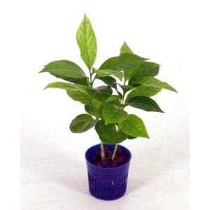 コーヒーの木 リトル苗 1.5号 4.5Φ 観葉植物/ハイドロカルチャー/水耕栽培/インテリアグリーン|julli