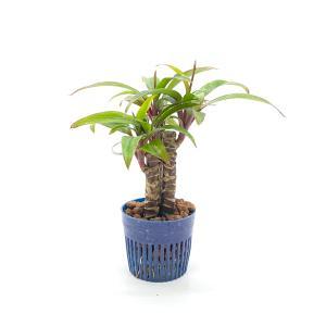 コルジリネ リトル苗 1.5号 4.5Φ 観葉植物/ハイドロカルチャー/水耕栽培/インテリアグリーン|julli
