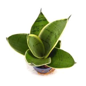 サンスベリア シルバーハニー リトル苗 1.5号 4.5Φ 観葉植物/ハイドロカルチャー/水耕栽培/インテリアグリーン|julli