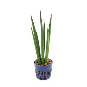 サンスベリア バキュラリス リトル苗 1.5号 4.5Φ 観葉植物/ハイドロカルチャー/水耕栽培/インテリアグリーン|julli