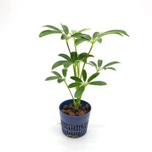 シェフレラ 緑細葉 リトル苗 1.5号 4.5Φ 観葉植物/ハイドロカルチャー/水耕栽培/インテリアグリーン|julli