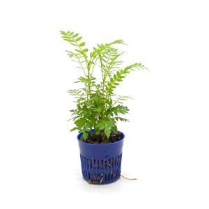 ジャカランタ リトル苗 1.5号 4.5Φ 観葉植物/ハイドロカルチャー/水耕栽培/インテリアグリーン|julli