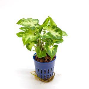 シンゴニウム ピクシー リトル苗 1.5号 4.5Φ 観葉植物/ハイドロカルチャー/水耕栽培/インテリアグリーン|julli