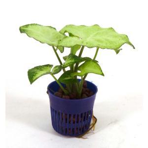 シンゴニウム ホワイトバタフライ リトル苗 1.5号 4.5Φ 観葉植物/ハイドロカルチャー/水耕栽培/インテリアグリーン|julli