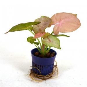 シンゴニウム ピンク リトル苗 1.5号 4.5Φ 観葉植物/ハイドロカルチャー/水耕栽培/インテリアグリーン|julli