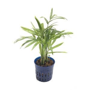 テーブルヤシ リトル苗 1.5号 4.5Φ 観葉植物/ハイドロカルチャー/水耕栽培/インテリアグリーン|julli