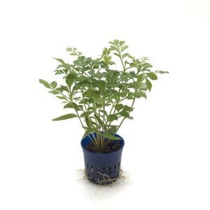 トネリコ リトル苗 1.5号 4.5Φ 観葉植物/ハイドロカルチャー/水耕栽培/インテリアグリーン|julli