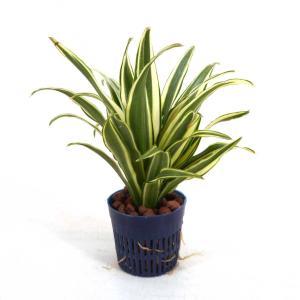 ドラセナ コンパクタ 斑入り リトル苗 1.5号 4.5Φ 観葉植物/ハイドロカルチャー/水耕栽培/インテリアグリーン|julli