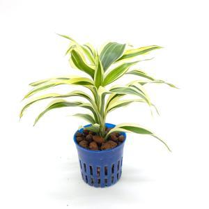 ドラセナ・サンデリアーナ ホワイト リトル苗 1.5号 4.5Φ 観葉植物/ハイドロカルチャー/水耕栽培/インテリアグリーン|julli