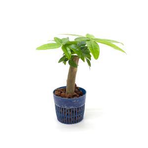 パキラ リトル苗 1.5号 4.5Φ 観葉植物/ハイドロカルチャー/水耕栽培/インテリアグリーン|julli