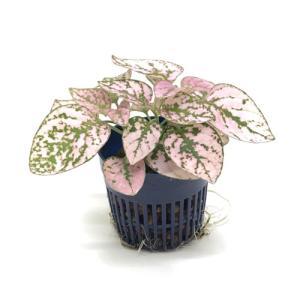 ヒポエステス ピンク リトル苗 1.5号 4.5Φ 観葉植物/ハイドロカルチャー/水耕栽培/インテリアグリーン julli