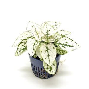 ヒポエステス ホワイト リトル苗 1.5号 4.5Φ 観葉植物/ハイドロカルチャー/水耕栽培/インテリアグリーン|julli