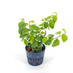フィカスプミラ リトル苗 1.5号 4.5Φ 観葉植物/ハイドロカルチャー/水耕栽培/インテリアグリーン|julli