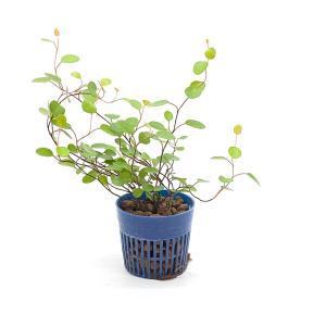 ミューレンベキア ワイヤープランツ リトル苗 1.5号 4.5Φ 観葉植物/ハイドロカルチャー/水耕栽培/インテリアグリーン|julli