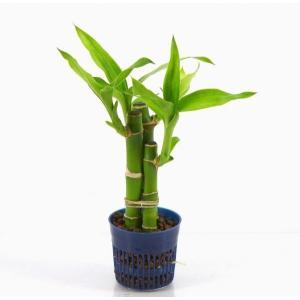ミリオンバンブー リトル苗 1.5号 4.5Φ 観葉植物/ハイドロカルチャー/水耕栽培/インテリアグリーン|julli