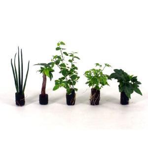 オアシス苗 観葉植物/ハイドロカルチャー/水耕栽培/インテリアグリーン|julli