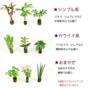 オアシス苗 観葉植物/ハイドロカルチャー/水耕...の詳細画像1