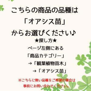 オアシス苗 観葉植物/ハイドロカルチャー/水耕...の詳細画像3