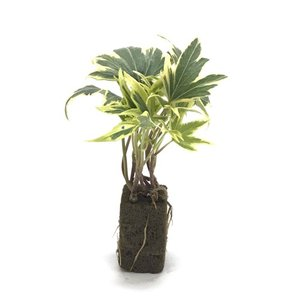 アイビー イエローリップル オアシス苗 観葉植物/ハイドロカルチャー/水耕栽培/インテリアグリーン|julli