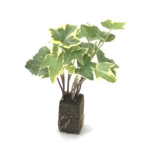 アイビー ゴールデンチャイルド オアシス苗 観葉植物/ハイドロカルチャー/水耕栽培/インテリアグリーン|julli