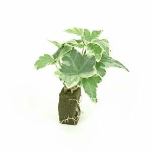 アイビー インジリーザ オアシス苗 観葉植物/ハイドロカルチャー/水耕栽培/インテリアグリーン|julli