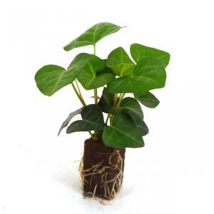 アイビー エバーハート オアシス苗 観葉植物/ハイドロカルチャー/水耕栽培/インテリアグリーン|julli