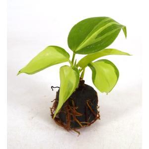オキシカルジウム 斑入り オアシス苗 観葉植物/ハイドロカルチャー/水耕栽培/インテリアグリーン|julli