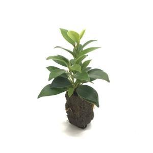 ガジュマル オアシス苗 観葉植物/ハイドロカルチャー/水耕栽培/インテリアグリーン|julli