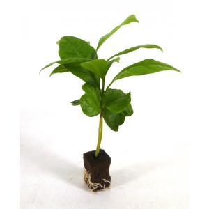 コーヒーの木 オアシス苗 観葉植物/ハイドロカルチャー/水耕栽培/インテリアグリーン|julli