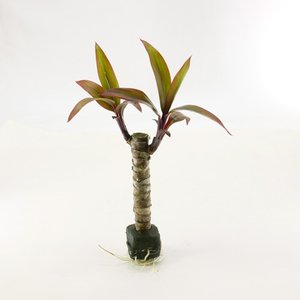 コルジリネ オアシス苗 観葉植物/ハイドロカルチャー/水耕栽培/インテリアグリーン|julli