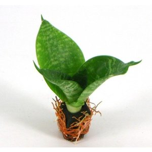 サンスベリア グリーンハニー オアシス苗 観葉植物/ハイドロカルチャー/水耕栽培/インテリアグリーン|julli