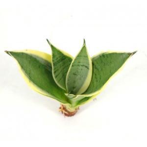 サンスベリア シルバーハニー オアシス苗 観葉植物/ハイドロカルチャー/水耕栽培/インテリアグリーン|julli