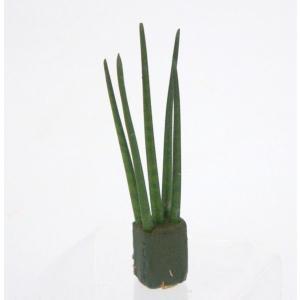 サンスベリア バキュラリス オアシス苗 観葉植物/ハイドロカルチャー/水耕栽培/インテリアグリーン|julli