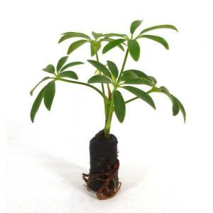 シェフレラ 丸葉 オアシス苗 観葉植物/ハイドロカルチャー/水耕栽培/インテリアグリーン|julli