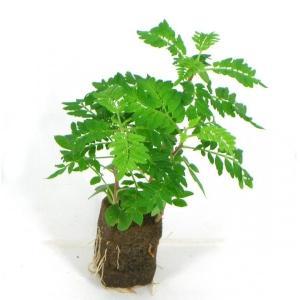 ジャカランタ オアシス苗 観葉植物/ハイドロカルチャー/水耕栽培/インテリアグリーン|julli