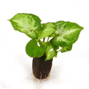 シンゴニウム ホワイトバタフライ オアシス苗 観葉植物/ハイドロカルチャー/水耕栽培/インテリアグリーン|julli