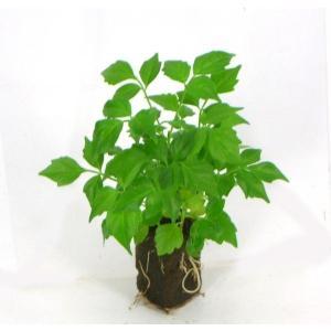 ステレオスペルマム オアシス苗 観葉植物/ハイドロカルチャー/水耕栽培/インテリアグリーン julli