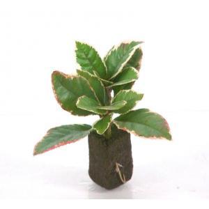 ツルコウジ オアシス苗 観葉植物/ハイドロカルチャー/水耕栽培/インテリアグリーン|julli