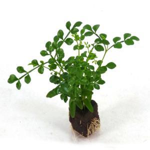 トネリコ オアシス苗 観葉植物/ハイドロカルチャー/水耕栽培/インテリアグリーン|julli